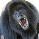 Black howler