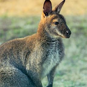 Kangaroo by Golam Kibria Sumon - Animals Other Mammals ( bangladesh, kangaroo, nature, wildlife, animal,  )