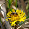 Common Sand Bee