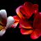 Pink Frangipani 44.jpg