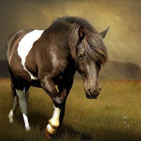 Tjaldur by Anna Guðmundsdóttir - Animals Horses ( tjaldur, icelandic horse, hestur, íslenskur hestur,  )