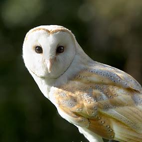 Watching You by Selena Chambers - Animals Birds ( bird, portait, bird of prey, barn owl, owl )