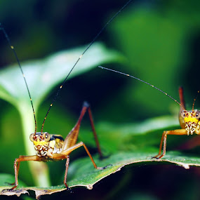 buddy... by aRie Fitri - Animals Insects & Spiders ( buddy, macro, insect, belalang )
