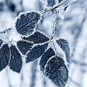 frozen leaves by Darko Kovac - Nature Up Close Leaves & Grasses