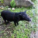 baboy ramo (wild pig)