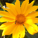 Giant Mexican Sunflower