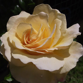 by Nicholas Thompson - Flowers Single Flower