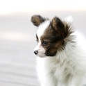 Dog Puzzle: Papillon icon