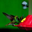 Coppery-headed Emerald Hummingbird(male)