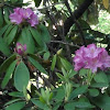 Rhododendron (Catawba Rhododendron)