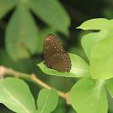 Malayan Egg-fly