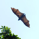 The Indian flying fox - flying