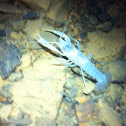Tennessee Cave Crayfish