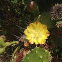 "Cactus Prickly Pear ""Opuntia"""