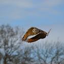 Bengal Eagle-Owl