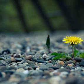Hipster Dandelion by Lisa Mirante - Flowers Flowers in the Wild ( hipster, dandelion, gravel, flower )