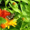 Пестрокрыльница изменчивая.Карта (бабочка)