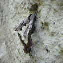Eyed Sphinx Moth