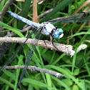 Great Blue Skimmer dragonfly (male)