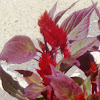 'New Look Red' celosia