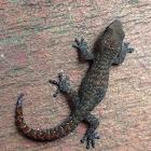 Cederberg Dwarf Leaf Toed Gecko