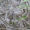 Beggar's Ticks        Hedge-Parsley