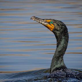 Bathing Beauty by John Finch - Animals Birds ( animals - birds - insects - wildlife, duck, birds,  )