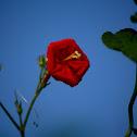 Scarlet Morning Glory