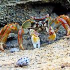 Mottled Crab