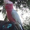 Galah [Rose-breasted Cockatoo]