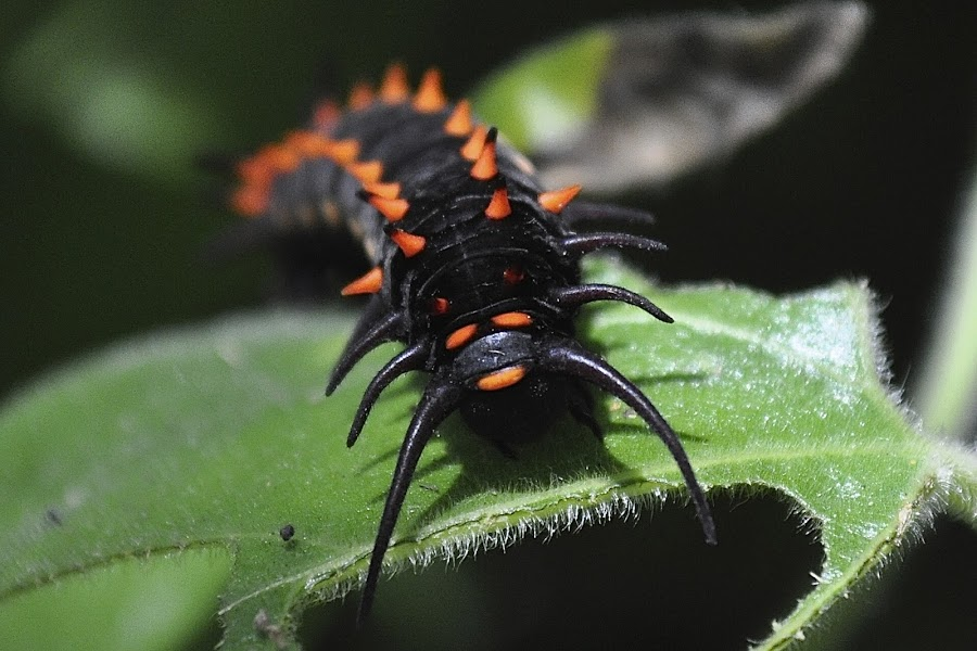 Caterpillar by Ed Hanson - Animals Insects & Spiders ( red, caterpillar, leaves, black )