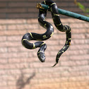 Chain Kingsnake
