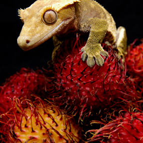 Rambutan by Jason Weigner - Animals Reptiles ( rabutan, fruit, red, nature, gecko, pet, reptile, crested, animal, #GARYFONGPETS, #SHOWUSYOURPETS, Food & Beverage, meal, Eat & Drink,  )