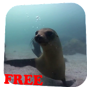 Fur seal Video Live Wallpaper