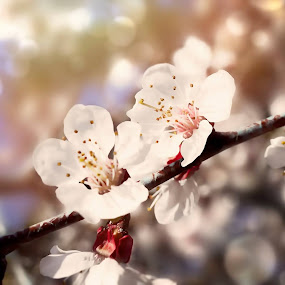 Spring by Явор Янев - Flowers Tree Blossoms ( spring )
