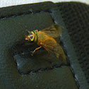 Yellow Fly of the Dismal Swamp