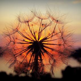 Sunset by Svetlana Micic - Nature Up Close Other plants ( dandelion, nature, colors, sunset, sun )