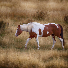 Traveller by Liza Chevres - Animals Horses ( wild horse, yellowstone, wyomng,  )
