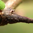 Tree-Stump Spider