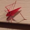 Red Katydid