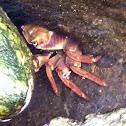 Chilean Crab