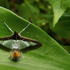 The Cucumber Moth