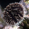 Collector Urchin