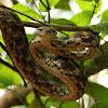Forsten's Cat Snake