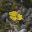 Sun Rose, Sonnenröschen