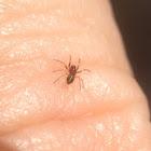 Spiderling