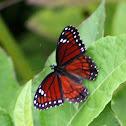 Florida Viceroy Butterfly