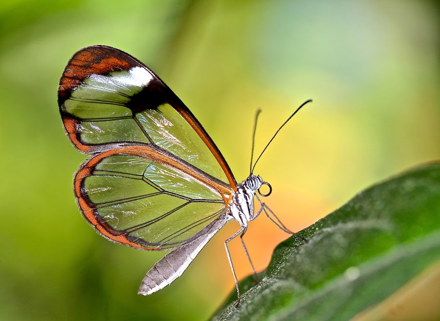 Profile of a Glasswing by Cindy Sumner-Moryl - Animals Insects & Spiders ( butterfly, macro, nature, glasswing )