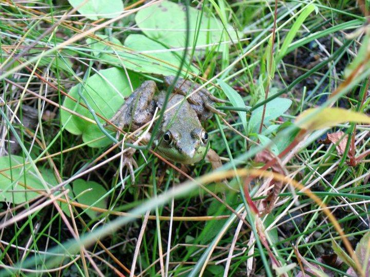 Grenouille criarde / Green frog, from Sherbrooke,Qc