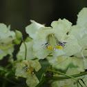 Catalpa flower cluster